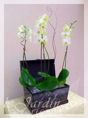Triple Stem Imperial Orchids in Le Jardin Treasure Chest Container